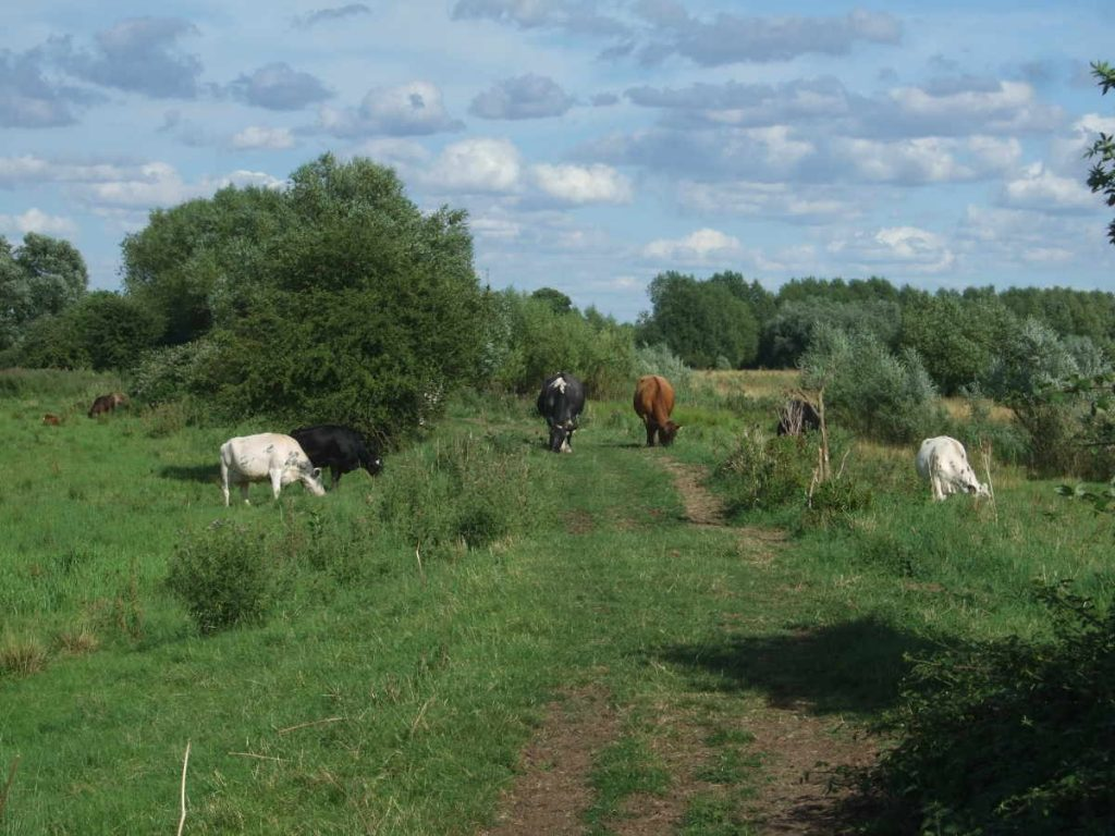 Fen Drayton Lakes: cattle